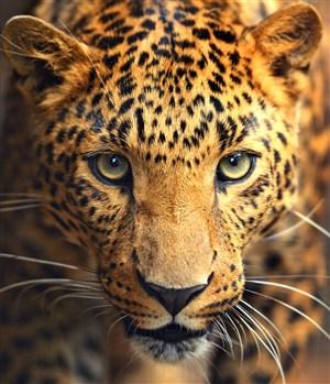 眼神炯炯的豹子图片