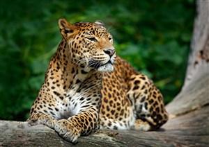 斑点豹子图片