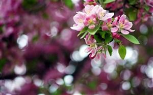 唯美蘋果花素材圖片