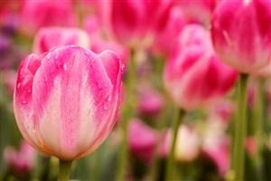 唯美郁金香鮮花圖片