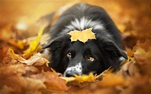 樹葉堆里的黑毛狗狗圖片