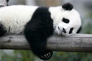 抱著樹棍懶懶的大熊貓圖片