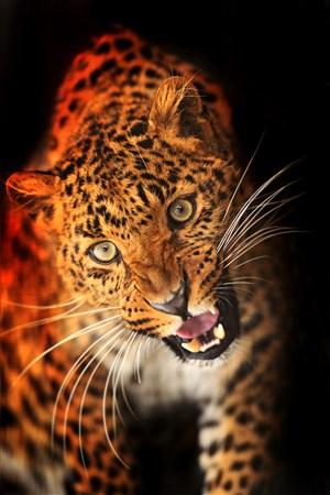 張口的豹子圖片