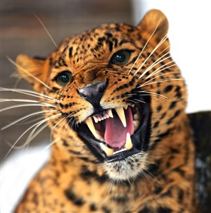 露出牙齒兇猛的豹子圖片