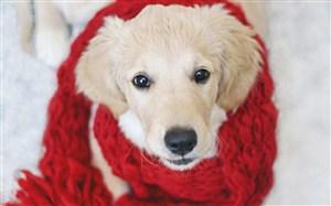 帶著紅色圍巾的狗狗圖片