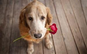 叼著玫瑰花的狗狗圖片