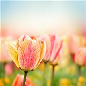 唯美郁金香鲜花图片