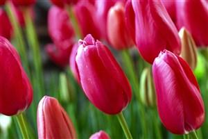 粉红郁金香鲜花图片