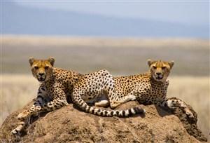 两头趴在土地上的可爱小豹子图片