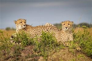 唯美野生动物躺在一起的两头豹子图片