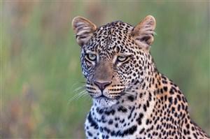 唯美野生动物神情低迷的豹子图片