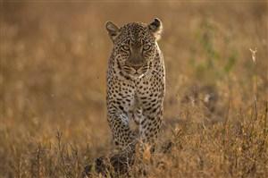 唯美野生动物缓缓走来的豹子图片