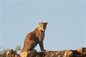 唯美野生动物坐在山顶上的豹子图片