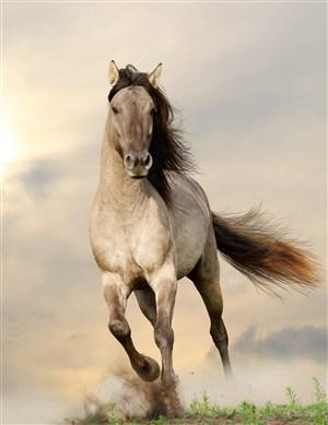 奔跑中的灰色駿馬圖片