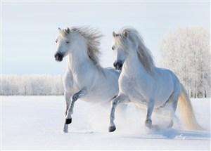 白雪地里的白色骏马图片