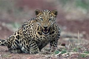 唯美野生动物攻击状态的豹子图片