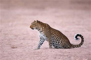 唯美野生动物紫色背景下的豹子图片