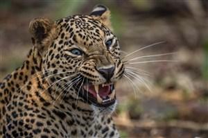 唯美野生动物张开口很凶的豹子图片