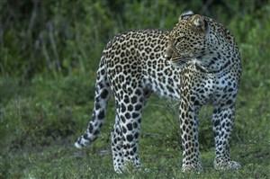 唯美野生动物回头观看的豹子图片