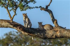 唯美野生动物树干上的两头豹子图片