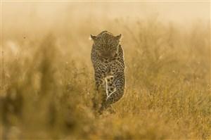 唯美野生动物黄昏下的豹子图片
