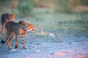 唯美野生动物瘦瘦的豹子图片