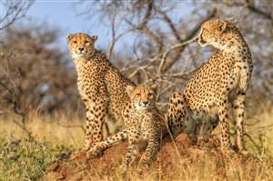 唯美野生动物三头豹子图片