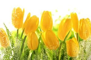 唯美雨滴郁金香鮮花圖片