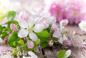 桌上唯美樱花鲜花图片