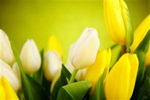 高清唯美郁金香鮮花圖片