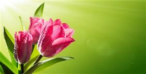 粉色郁金香背景鮮花圖片