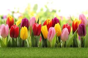 高清五顏六色郁金香鮮花圖片