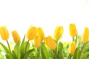 唯美黃色郁金香鮮花圖片