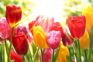 陽光下七彩閃光郁金香鮮花圖片
