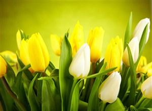 高清黃白郁金香鮮花圖片
