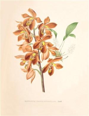 手繪彩繪蘭花插畫圖片