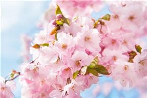 唯美樱花鲜花图片