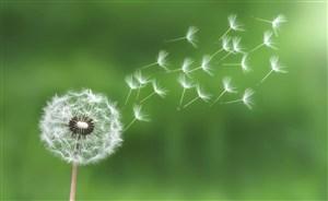 高清吹散蒲公英鮮花圖片