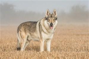 站在稻田的狼图片