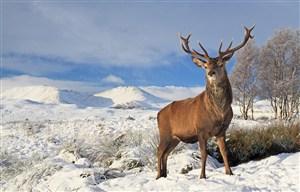 雪山上的麋鹿图片