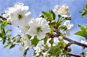 枝头盛开的白色樱花鲜花图片