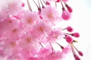唯美粉色樱花高清鲜花图片