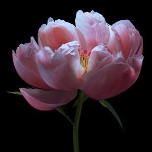 超高清粉色芍藥鮮花圖片