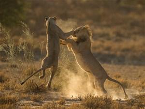 唯美野生动物激烈战斗的狮子图片