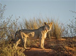 唯美野生动物迷茫的狮子图片