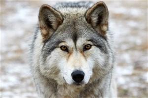 温顺的狼图片近照