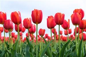 唯美郁金香花海鲜花图片