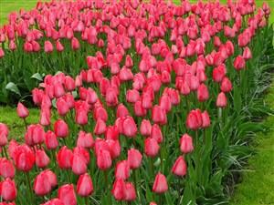 粉色郁金香花海鲜花图片
