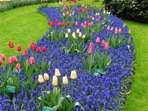 草坪上郁金香花海鲜花图片