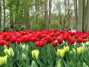 林间红黄郁金香花海鲜花图片
